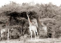 Giraffes Under The Tree