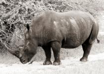 White Rhinoceros And Birds